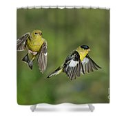 Lesser Goldfinch Pair In Flight Shower Curtain