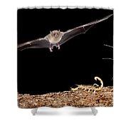 Lesser Long-nosed Bat Approaching Shower Curtain