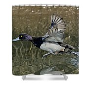 Lesser Scaup Drake Shower Curtain