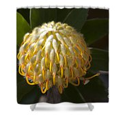Leucospermum  -   Yellow Pincushion Protea Shower Curtain
