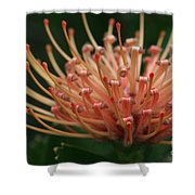 Leucospermum  Pincushion Protea Tropical Sunburst Protea Flower  Shower Curtain
