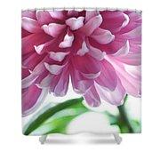 Light Impression. Pink Chrysanthemum  Shower Curtain