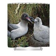 Light-mantled Albatross Feeding Chick Shower Curtain