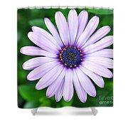 Light Purple Daisy  Shower Curtain