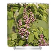 Lilac In Spring Shower Curtain