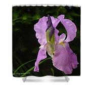 Lilac Siberian Iris Shower Curtain
