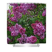 Lilacs At Hulda Klager Lilac Garden Shower Curtain