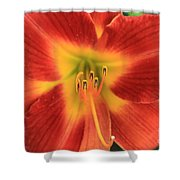 Daylily 5  Shower Curtain
