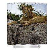 Lion   #1646 Shower Curtain