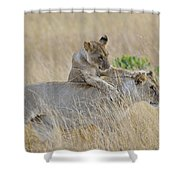 Lion Cub Playing With Female Lion Shower Curtain