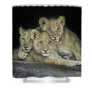 Three Lion Cubs Shower Curtain
