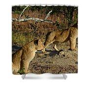 Lion Cubs Of Zimbabwe  Shower Curtain