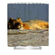 Lion Resting Shower Curtain
