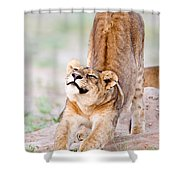 Lioness Panthera Leo Stretching Shower Curtain