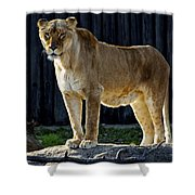 Lioness Shower Curtain by Frozen in Time Fine Art Photography