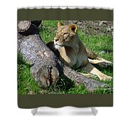Lioness2 Shower Curtain