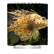 Lionfish Searching For Its Prey Shower Curtain