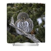 Little One - Northern Pygmy Owl Shower Curtain