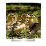 Yellow Muscovy Duck Ducklings Running Fast  Shower Curtain