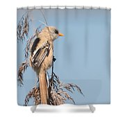 ln06 Bearded Reedling Juvenile Shower Curtain