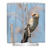 ln11 Bearded Reedling Juvenile Shower Curtain