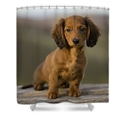 Long-haired Dachshund Puppy Shower Curtain