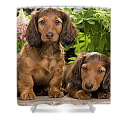 Long-haired Dachshunds Shower Curtain