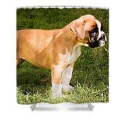 long tailed Boxer Puppy in the sun Shower Curtain