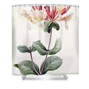 Lonicera Periclymenum  Shower Curtain by Louise D Orleans