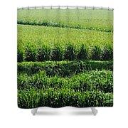 Louisiana Cane Field Shower Curtain