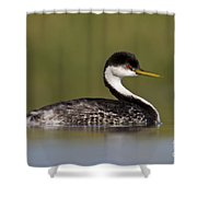 Low Angle Western Grebe Shower Curtain