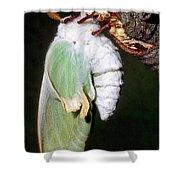 Luna Moth Actias Luna Newly Hatched Shower Curtain