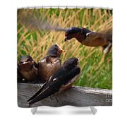 Lunch Is Served To The Fourth Baby Barn Swallow Shower Curtain