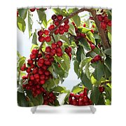 Luscious Cherries Shower Curtain