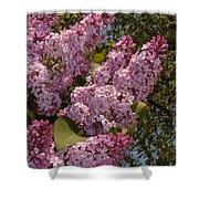 Lush Lilacs Shower Curtain