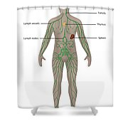 Lymphatic System In Male Anatomy Shower Curtain