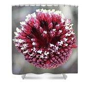 Macro Of Round-headed Leek Flower Allium Sphaerocephalon  Shower Curtain