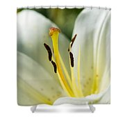 Madonna Lily - Featured 3 Shower Curtain