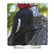 Magellanic Woodpecker Shower Curtain