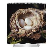 Magnificent Hummingbird Eggs Shower Curtain