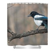 Magpie Perched On Twig Shower Curtain