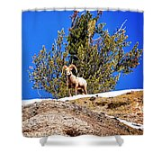 Majestic Big Horn Sheep Shower Curtain