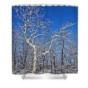 Majestic Sycamore In Winter Shower Curtain