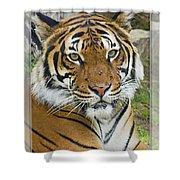 Malayan Tiger 1 Shower Curtain
