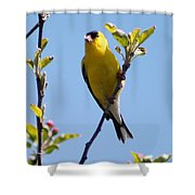 Male American Goldfinch Gathering Feathers For The Nest Shower Curtain