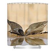 Male And Female Eurasian Blackcap Shower Curtain