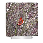 Male Cardinal Cold Day 2 Shower Curtain