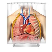 Male Chest Anatomy Of Thorax Shower Curtain