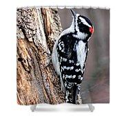 Male Downy Woodpecker Shower Curtain