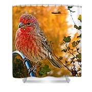 Male Finch In Autumn Leaves Shower Curtain